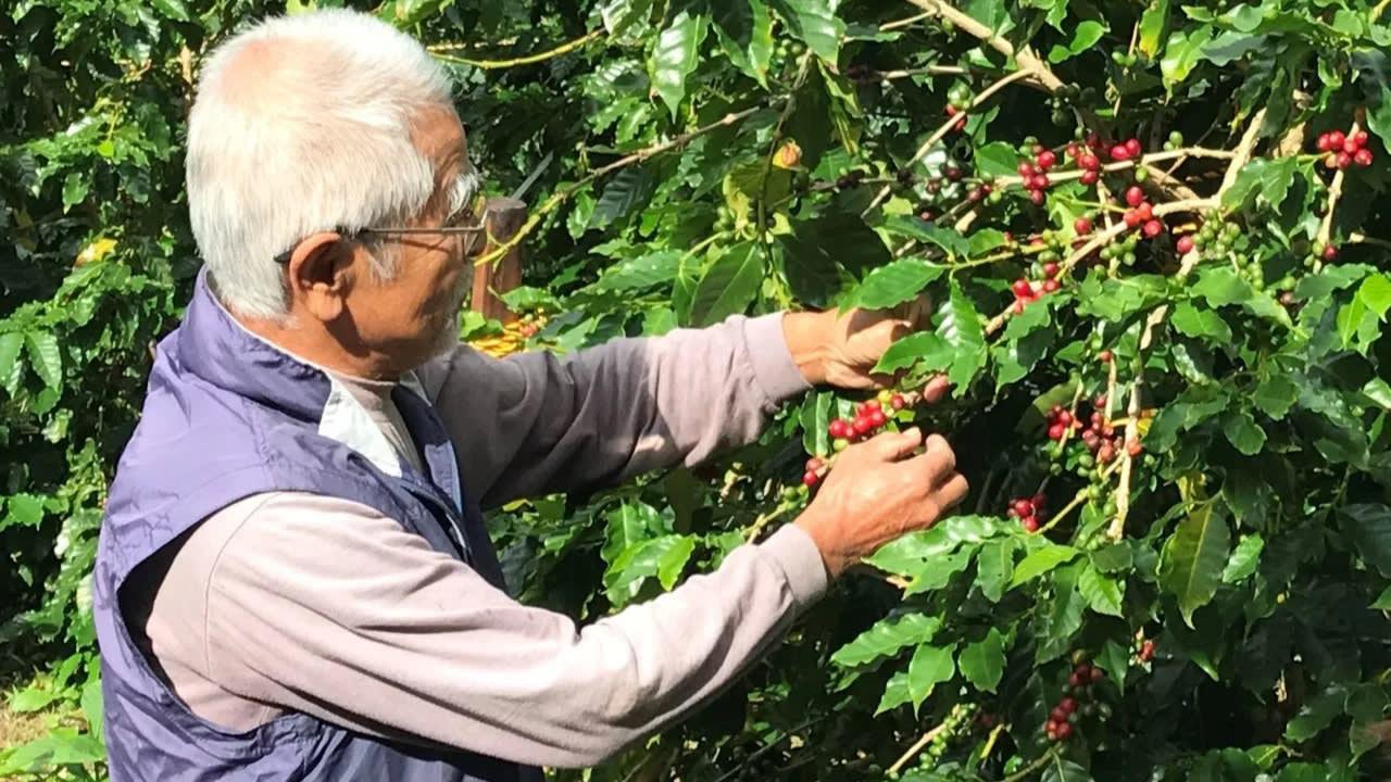 Ajinomoto bắt đầu dự án trồng cà phê trong nước để đáp ứng mức tiêu thụ tăng cao